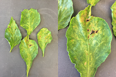 A composite photo of chile pepper leaves with chlorotic concentric ringspots caused by a virus
