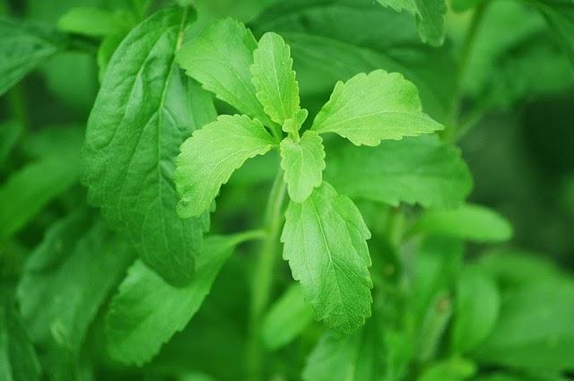 La stevia para endulzar alimentos sustituitivos del azúcar y edulcorantes