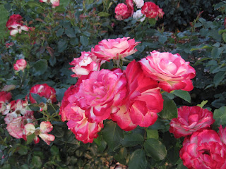 Multi-colored roses- white, pink, and red