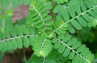 40 Obat Asam Urat Akut Alami dari Tumbuhan yg 100% Ampuh