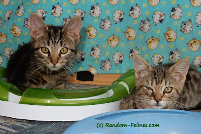 patriot kittens, foster kittens, catit track
