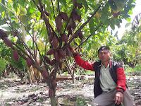 "Klon Unggul Kakao Mcc02 ""45"" Dan Klon Sulawesi 2 Lebih Disukai Petani"