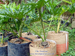 POHON PHILODENDRON JARI