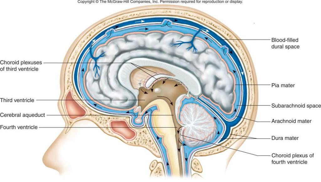 Mcq On Nervous System Histology Part 6 Last Medsynapses