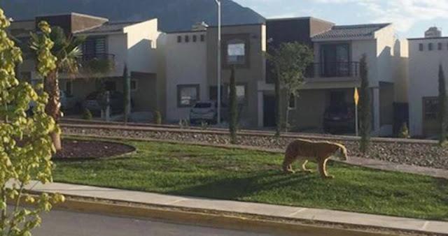 Reportan tigre suelto en fraccionamiento de Saltillo.