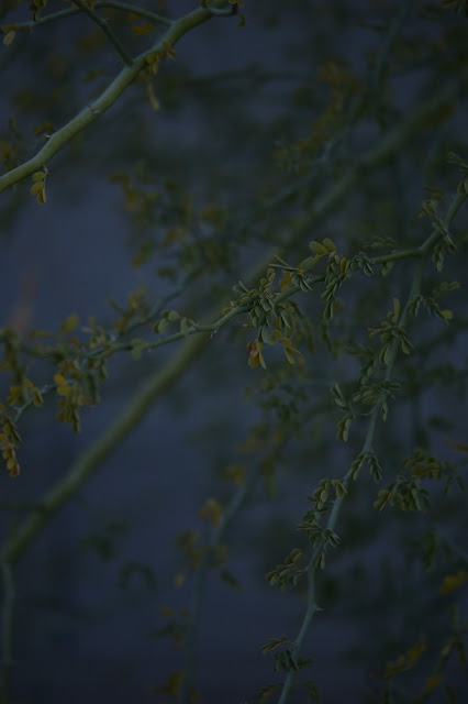 Parkinsonia florida, amy myers, small sunny garden, desert tree, palo verde, tree following, sonoran desert