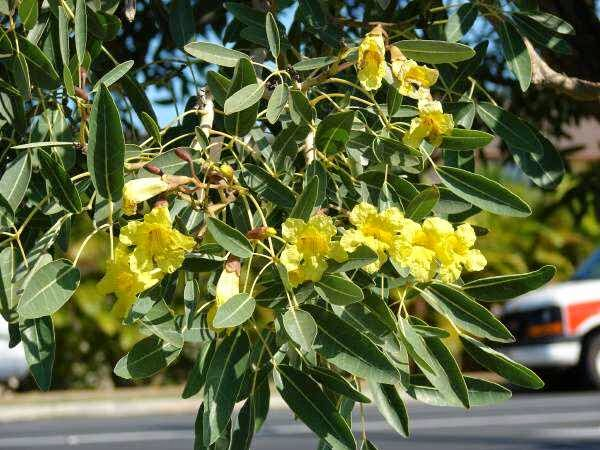 Jual Pohon Tabebuya Kuning Dan Pink