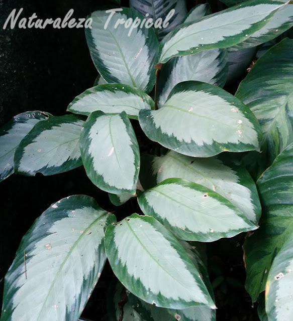 Calatea ornamental, género Calathea