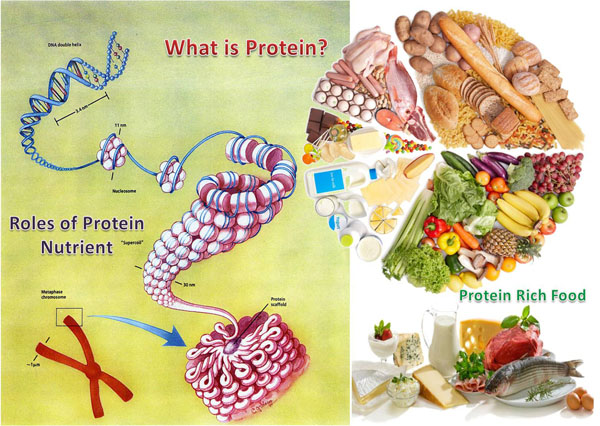 What is protein structure; Roles of Protein; protein rich food