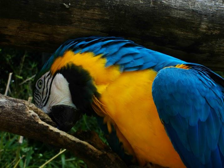 A Bela Arara Canindé, no Zoo de Gramado