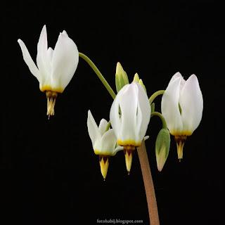http://fotobabij.blogspot.com/2015/04/byzykwiat-meada-kwiatostan-dodecatheon.html