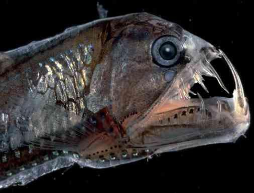 viperfish-السمكة-الافعى