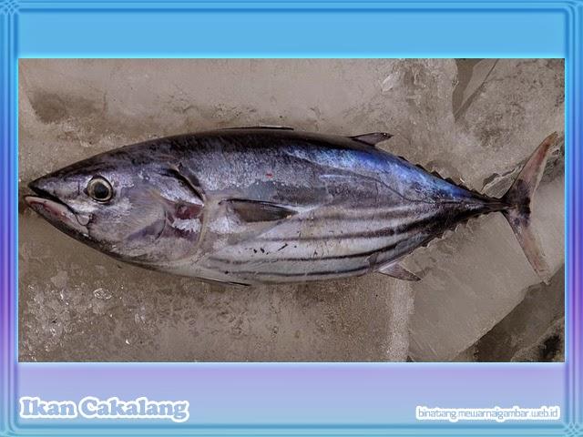gambar ikan cakalang