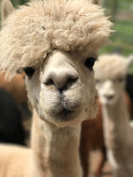 Closeup of a white alpaca looking into the camera with another behind it. Photo by Grep Lippert on Unsplash