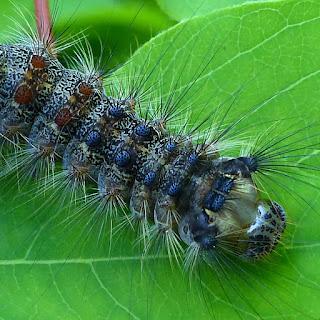 Chenille du Bombyx disparate - Lymantria dispar - La Spongieuse - Le Zigzag
