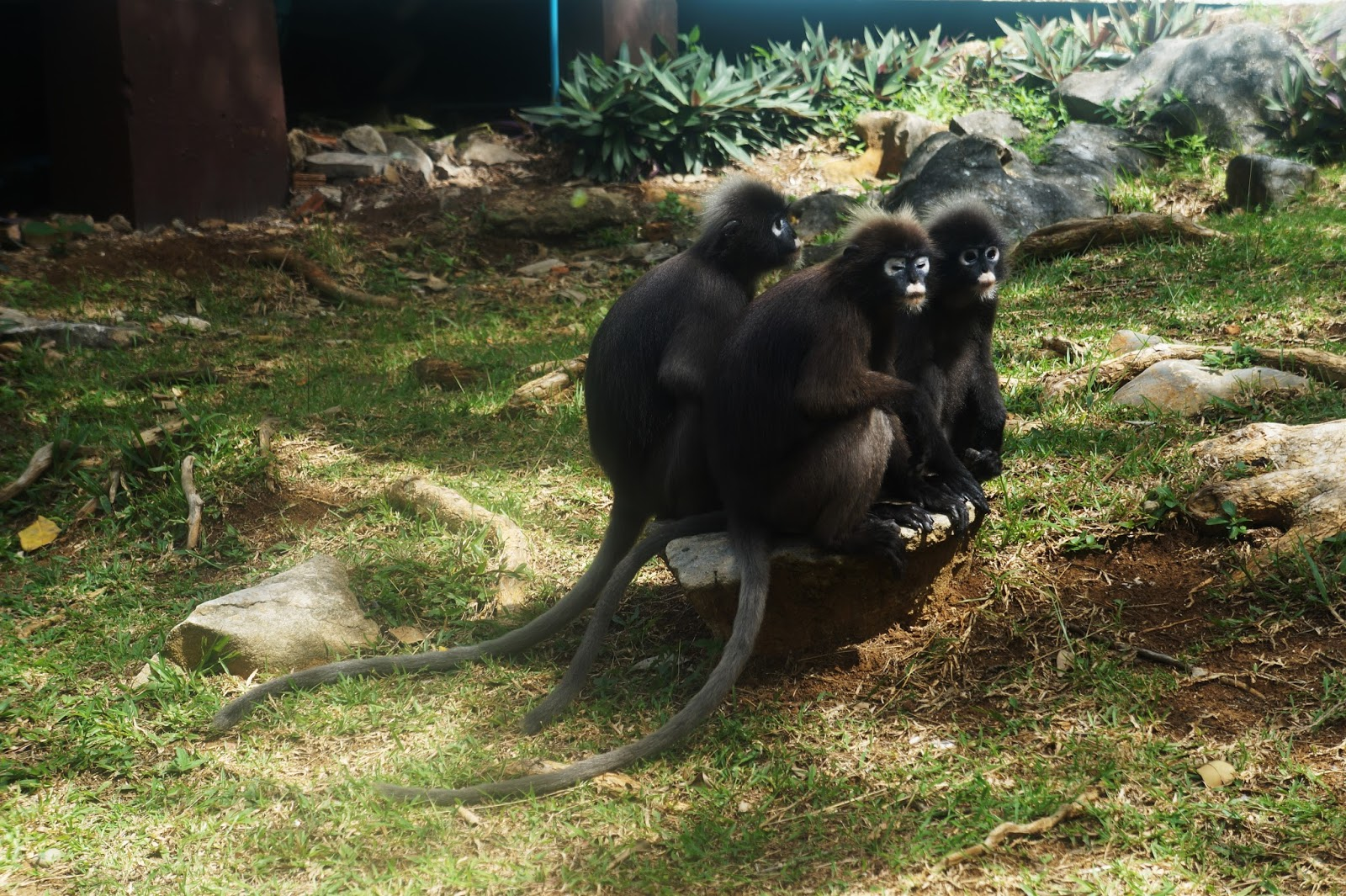 monkey tajland, koh samui monkey