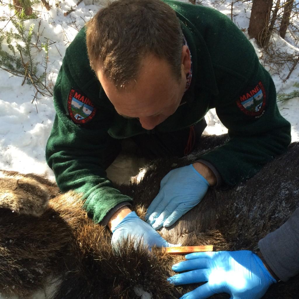 Maine moose study