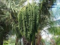 gambar pohon kolang-kaling