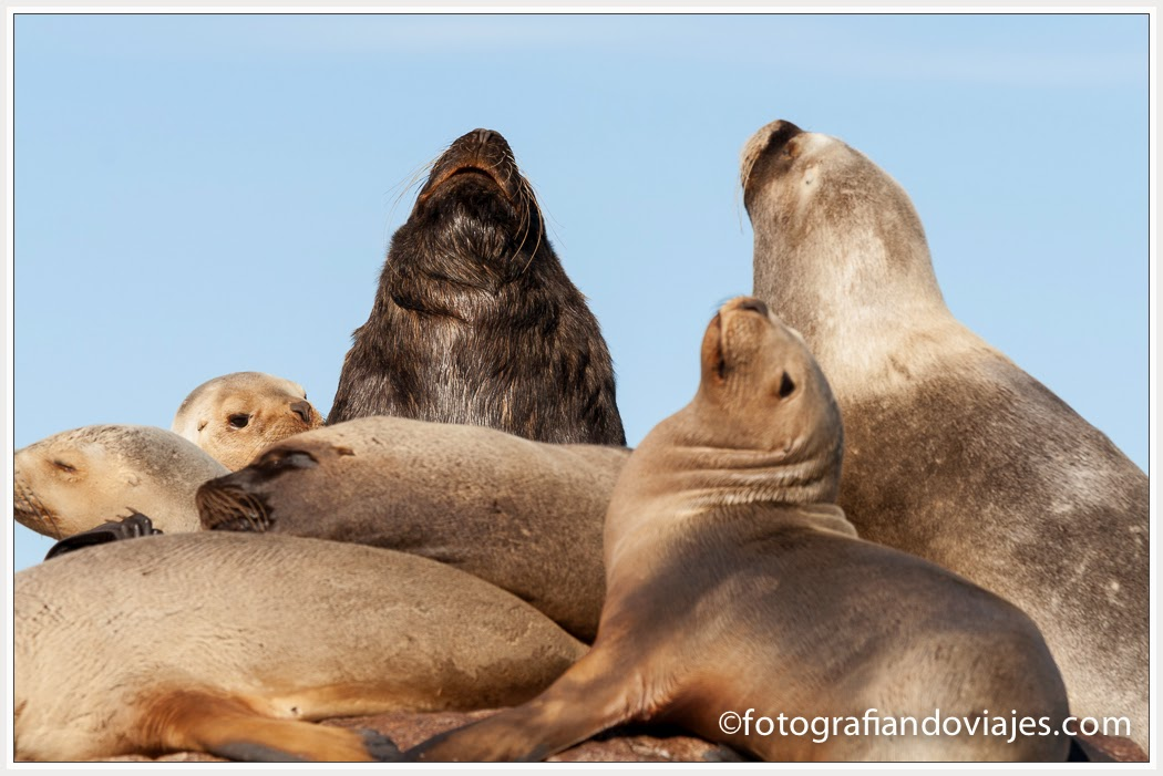León marino o lobo marino en Patagonia