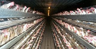 Αν διαβάσετε αυτό το κείμενο ίσως να μην φάτε ποτέ ξανά κοτόπουλο