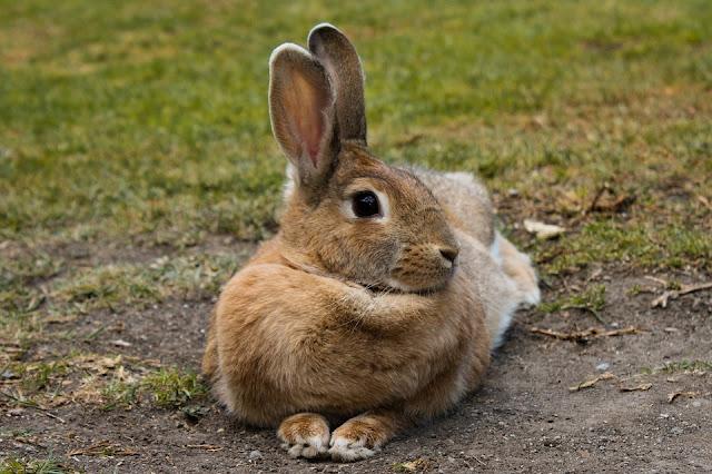 Pata de conejo