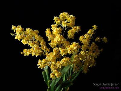 Orquídea Oncidium Twinkle 'Yellow Fantasy'