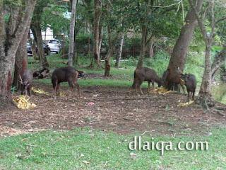 rusa sedang berkumpul