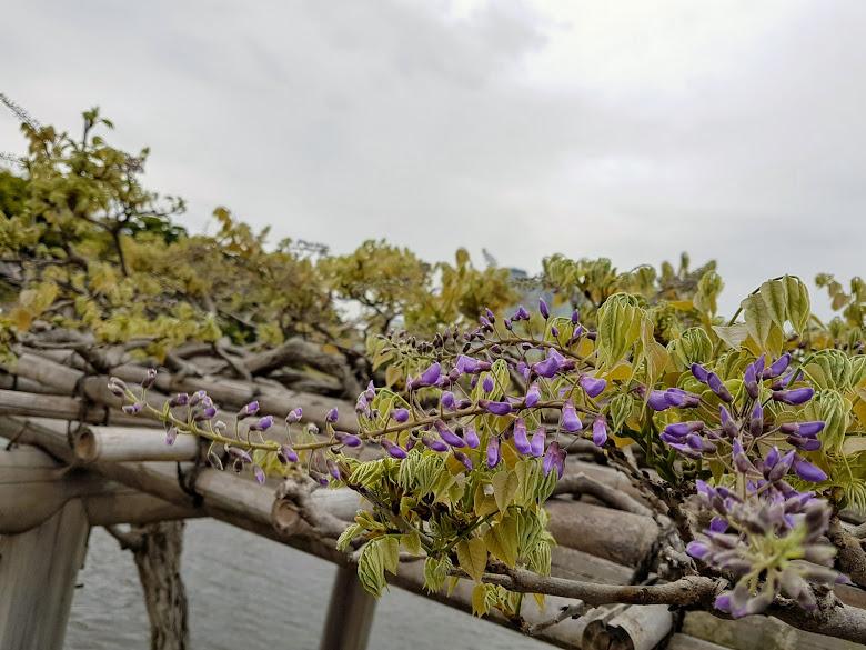 公園內的紫藤花