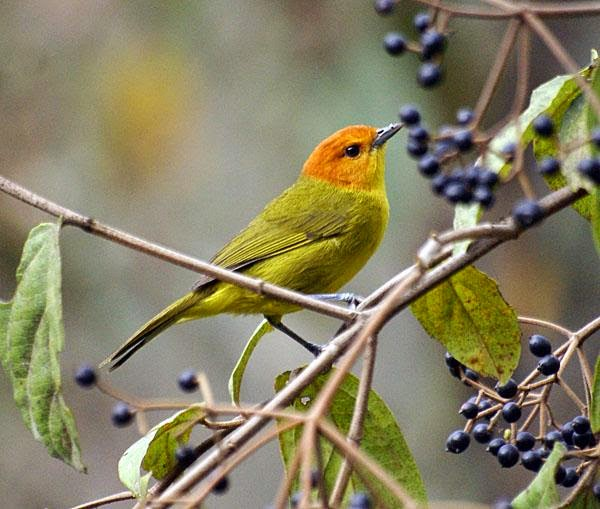 Rust and yellow Tanager