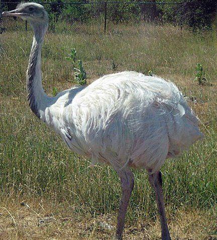 Ostrich | A-Z List of 125 Rare Albino Animals [Pics]