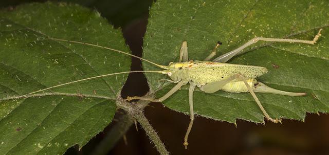 Oak Bush-cricket, Meconema thalassinum.  Female.  Hayes Common, 19 November 2016.