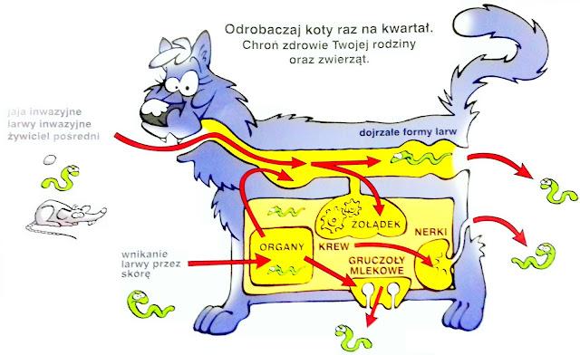 pasożyty kot, pasożyty pies, drogi inwazji pasożytów