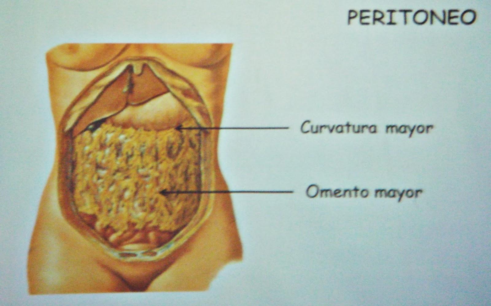 Peritoneo - Sistema digestivo