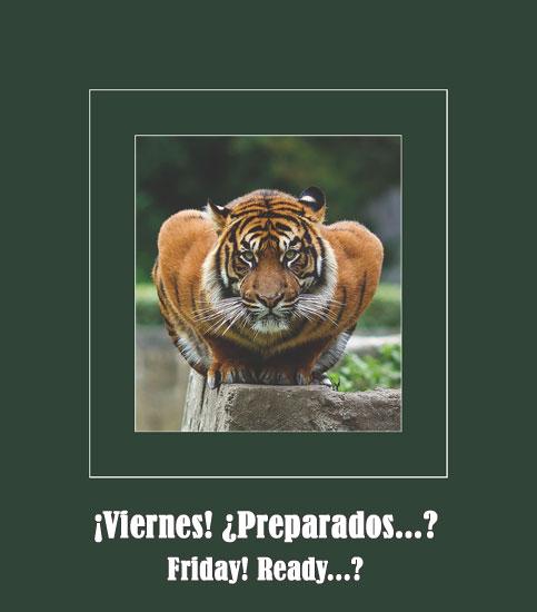 pouncing- tiger