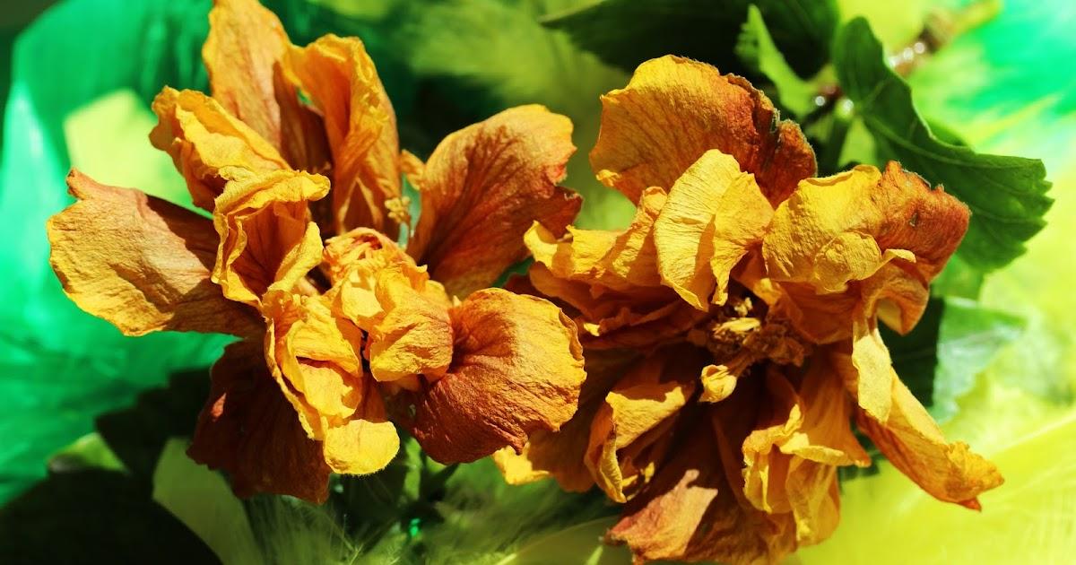 Arq myriam mahiques art decaying chinese roses rosas - Rosas chinas ...
