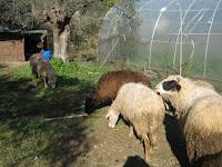 Χρήσιμες συμβουλές σε έκτακτη ανάγκη-προβατα