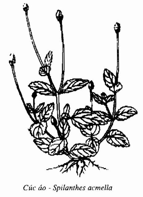 Hình vẽ Cây Cúc Áo - Spilanthes acmella - Nguyên liệu làm thuốc Chữa bệnh Mắt Tai Răng Họng