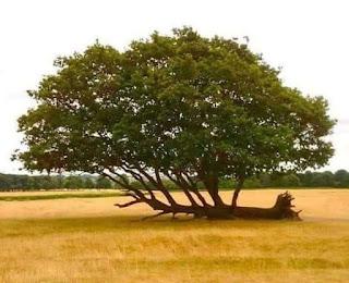 albero crollato che resiste