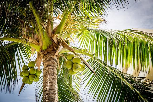 Berikut efek samping yang terjadi jika Anda mengkonsumsi air kelapa secara berlebihan:  1. Menyebabkan Diare Air kelapa memang baik untuk menurunkan kelebihan berat badan akan tetapi jika Anda mengkonsumsi tidak sesuai aturan atau berlebihan hal ini dapat menyebabkan Anda terserang diare.    2. Kekurangan nutrisi Kandungan asam amino di dalam buah kelapa memang lebih tinggi dari asam amino yang terdapat di dalam susu. Akan tetapi jika Anda tidak mengkonsumsi susu dan hanya menggantinya dengan minum air kelapa saja tentu saja Anda akan mengalami kekurangan nutrisi yang dibutuhkan oleh tubuh.    3. Meningkatkan resiko hiperkalemia Bagi Anda penderita batu ginjal yang sudah mengalami penurunan fungsi ginjal, mengkonsumsi air kelapa secara berlebih justru dapat membahayakan jantung Anda. Kandungan kalium dan elektrolit di dalam air kelapa dapat memicu meningkatnya resiko hiperkalemia.    Segala sesuatu yang baik adalah yang mengikuti aturannya, jika Anda berlebihan mengkonsumsi air kelapa maka bukan manfaat buah kelapa yang Anda dapatkan melainkan efek samping yang dapat membahayakan diri Anda. Karena yang berlebihan akan selalu berakhir tidak baik.
