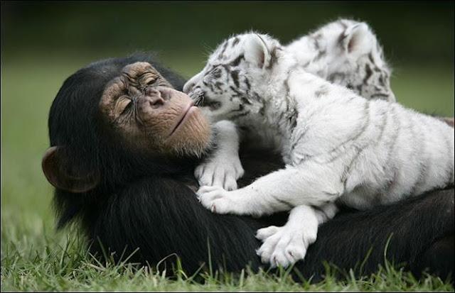 2 tigres, un Chimpancé