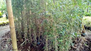 Jual Bambu Hias,Bambu Nagin