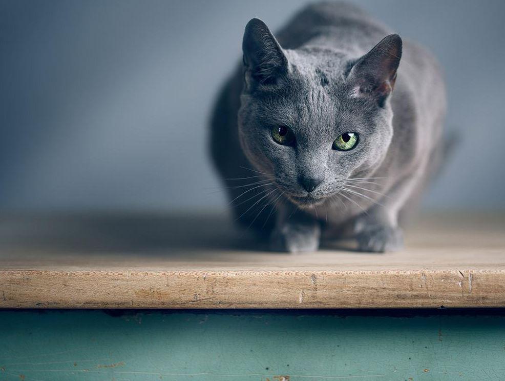 Russian Blue Cat Price