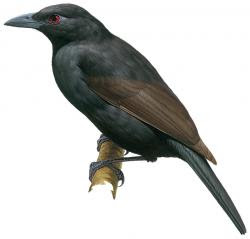 Lycocorax pyrrhopterus