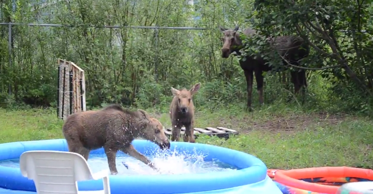 White Wolf Adorable Twin Moose Babies Play In Swimming Pool Of A Family 39 S Yard In Alaska