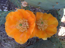 Prickly Pear Flower