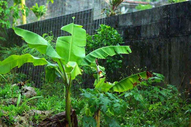banana trees sway in wind