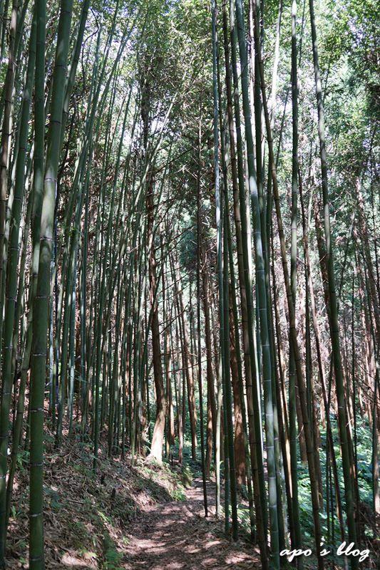 白蘭溪古道的桂竹林景觀