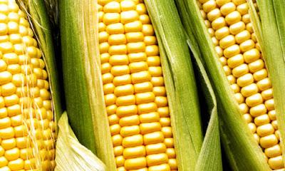 Grano de maíz