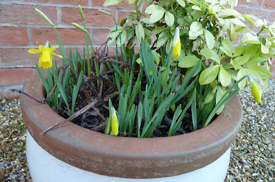 Daffodils in a pot