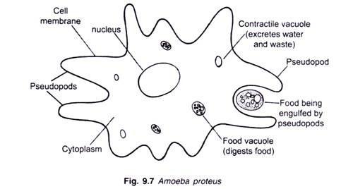 900 Contoh Gambar Hewan Protozoa Gratis Terbaru